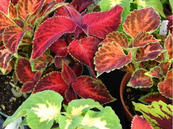 annual plants in citrus county nursery giant portulaca, coleus, Natural flower