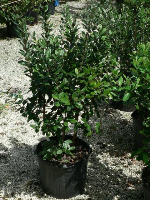 Shrubs For Sale In Citrus County Nursery Torulosa Juniper