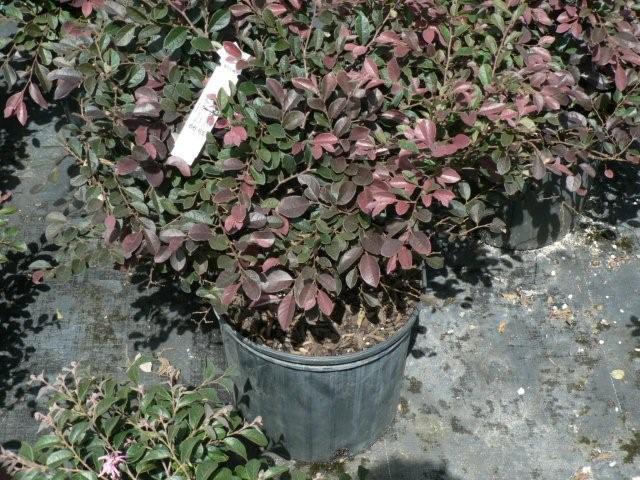 Shrubs for sale in citrus county nursery torulosa juniper torulosa juniper mightylinksfo